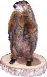 groundhog1_large