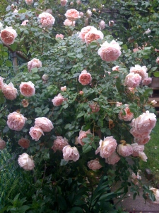 roses_late_may_09