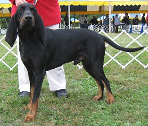 black_tan_coonhound